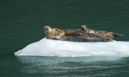 sunning: A trio of harbor seals are stetched out on a piece ice sunning themselves.