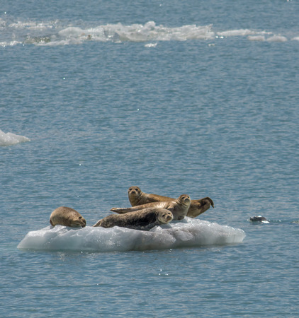 sunning: A group of harbor seals are sunning themselves on a piece of ice barely big enough to hold all of them.