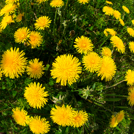 fish eye lens: Yellow fills the screen from blooming danelions especially when you use a fish eye lens. Stock Photo