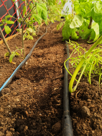 Drip line feeds water to freshly planted tomato plants.