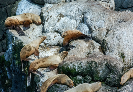 sunning: A pod of sealions are sunning themselves on bright rocks. Stock Photo