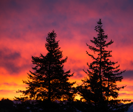 A glowing sunrise outlines a pair of Sitka Spruces.