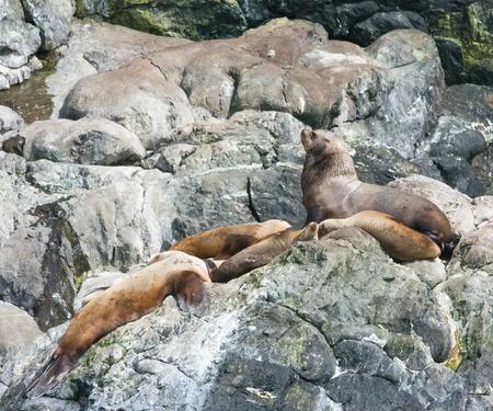 sunning: A bull sea lion overlooks his harem while sunning himself on a rocky ledge.