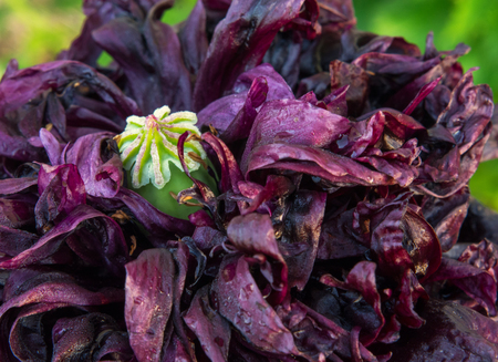 proto: After the flower, a green hip of a proto seed pokes through the dark purple flower peony poppy petals. Stock Photo