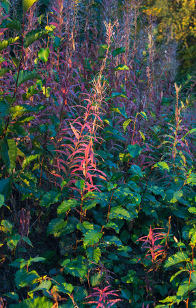 turn away: Once the flowers are done, fireweed plants turn pink before fading away.