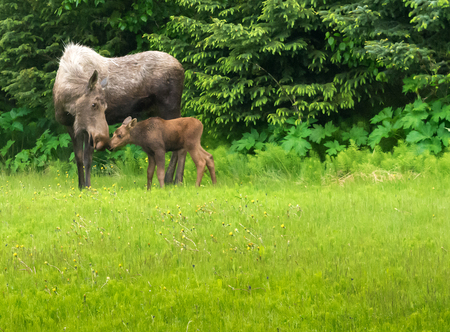 broad leaf: A moose cow touches noses with her calf almost the bright green of spring.