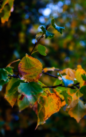 speckle: Leaves give up their green as fall starts against a dark green backbground. Stock Photo