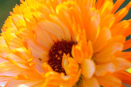 A tiny insect crawls across the orange petals of a blooming calendula.