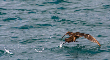 This Sooty Shearwater runs along to the water and slams its wing down to gain enough lift to fly