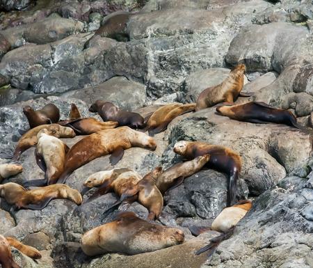 soak: A colony of sea lions soak up the sun on a rocky Alaskan beach.
