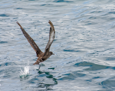 water wings: This Sooty Shearwater runs along to the water and raises up its wings to gain enough speed to fly