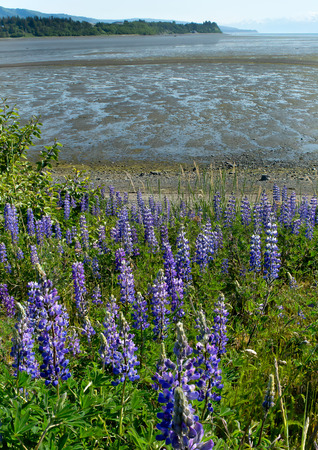 Blue Lupines provide a constrast against a tide exposed muddy beach Imagens
