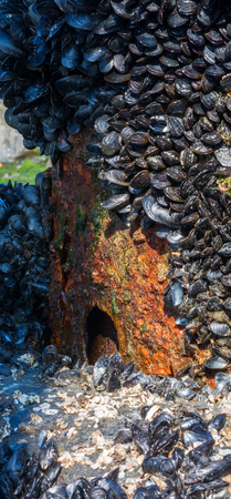 rust covered: A rust covered pipe is barely visible through the massive growth of muscles encrusting it. Stock Photo
