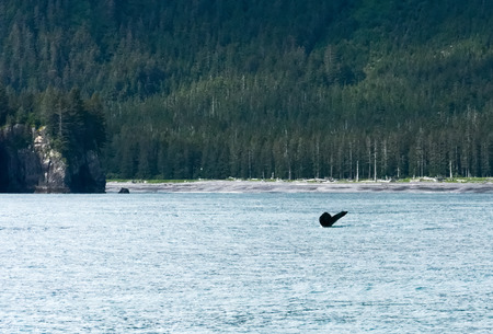 Only the tail flukes remain of a humpback diving into a sheltered bay.