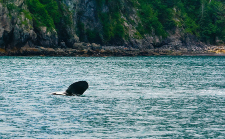 flipper: Having rolled on its side an orca has one flipper out of the water and waving
