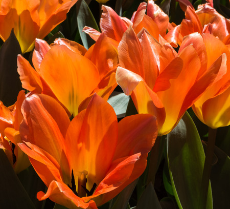 The see through orange petals provide lighting for the center of these orange tulips. Imagens