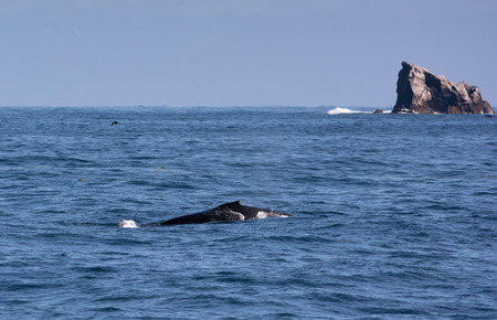 Only a tiny fin and a stretch of a back betray the massive humpback whale below the waves. Banco de Imagens