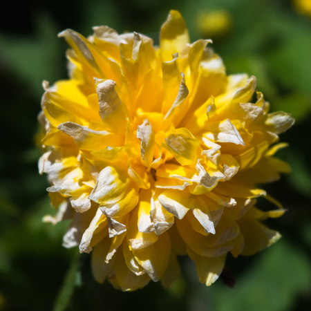 reach out: Yellow petals reach out in all directions to form a ball shaped blossom. Stock Photo