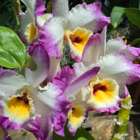 Purple and white petals provide contrast from red and yellow centers of these blooming orchids. Imagens