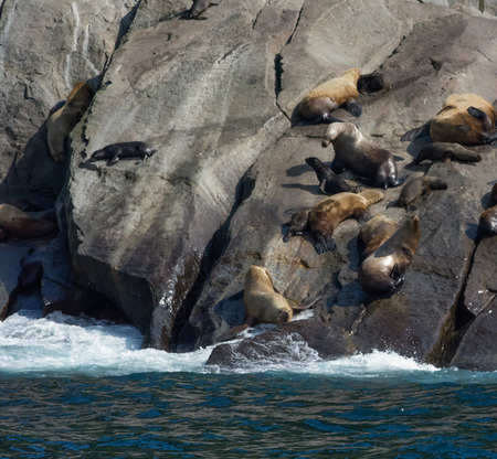 pups: A pod of sea lion cows and pups sun themselves on a rock ledge. Stock Photo