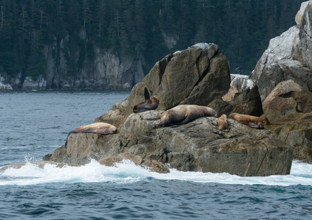 Amongst a pod of sleeping sea lions, a sea lion cow points a flipper to the sky. Stock Photo