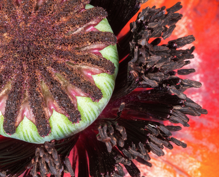 oriental poppy: As the bloom fades, a pod takes shape ready to sead another oriental poppy. Stock Photo