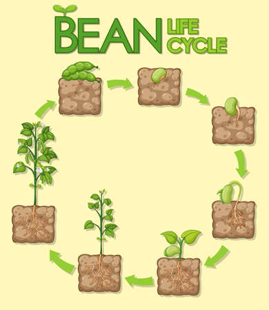 Diagram showing how plants grow from seed to beans illustration