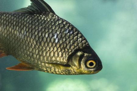 carp. Resolution and high quality beautiful photo