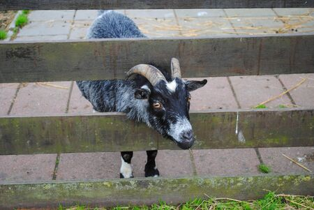 Gray goat on a farm in Holland