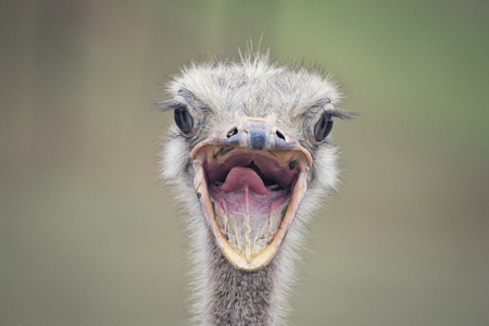 Portrait of an ostrich bird in a natural environment - Funny face portrait with the open mouth