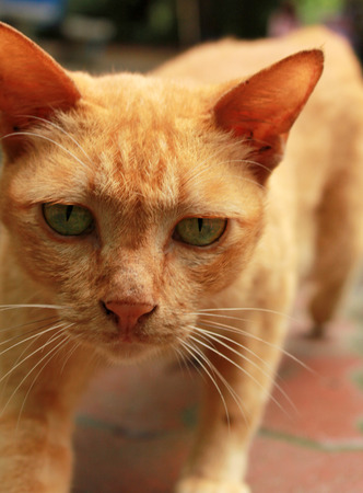 devilish: Villain Cat - Orange tabby cat in villainous looks with devilish eyes.