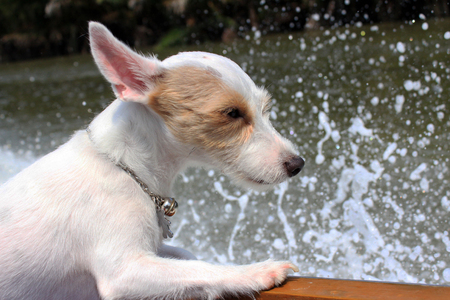 white headed: Boating Dog - Brown and White headed dog is riding a boat in splash background