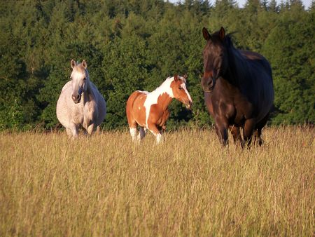 Family of horses walking  in a  field, Stock Photo - 7229829