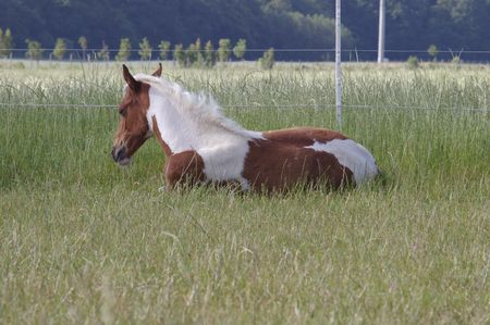 filly: Filly laying in field