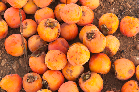 Close-up of a pile of persimmons that have been frozen and have been piled up for destruction