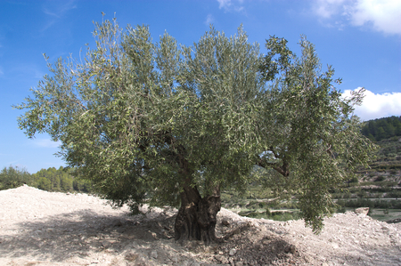 An old olive tree that still bears fruit in abundance for its collection and production of oil