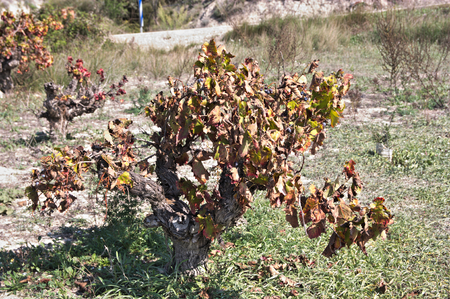 Wine strain with yellowish leaves on a sunny autumn day