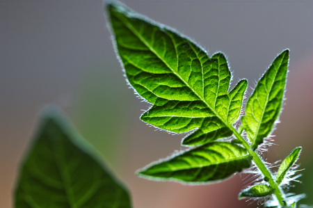 Close-up of a young tomato leaf seen with an intense backlight Stock Photo