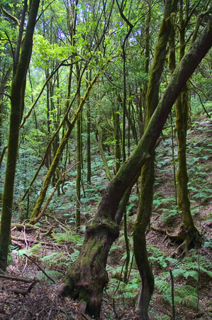 Vertical image of the laurisilva forest of the island of La Gomera in the Canary Islands, Spain