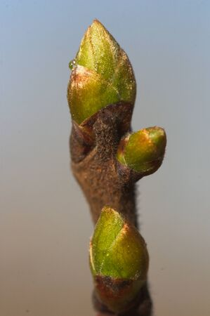 Close-up of a persimmon tree bud in late winter with a neutral background
