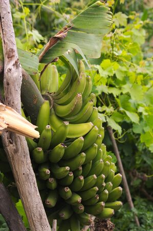 Branch of green bananas that by their weight need to be held by a wooden elbow while growing in the banana tree 스톡 콘텐츠