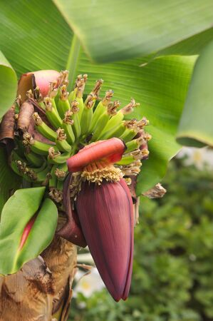 A banana flower is an edible fruit produced by several large, flowering plants in the Musa genus.