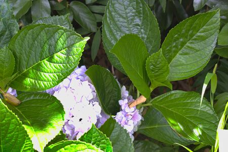 Close-up of a violet hydrangea and large green leaves, known in botany as Hydrangea Stock Photo