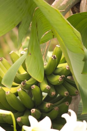 Branch of bananas hanging from the tree, of which one of its branches is seen crossing the image