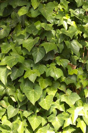 Close-up of some branches and leaves of climbing ivy of the Araliaceae family