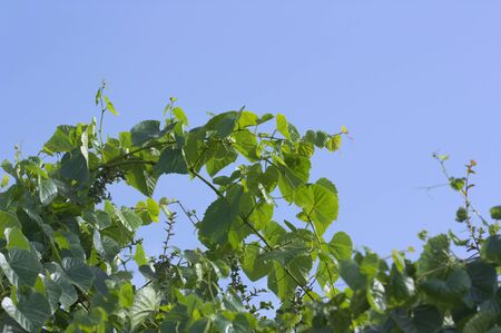 Green grape branches on a clear blue sky with space for texts (copy space)