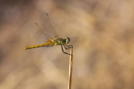 Image of a dragonfly (anisoptera) waiting at its surveillance site to catch its next prey