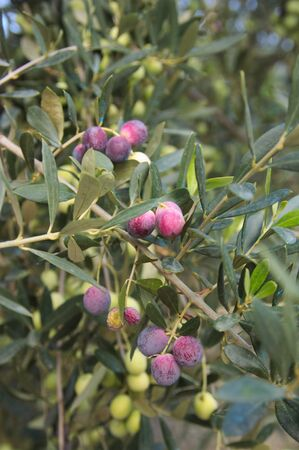 Olive branch with its fruits, olives in different degrees of ripening in early autumn Фото со стока
