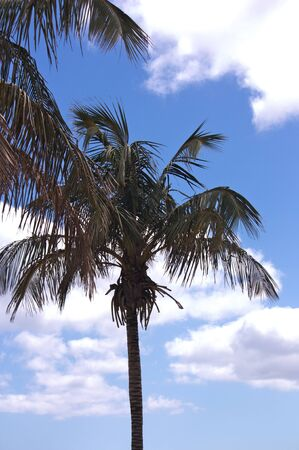 Silhouette of a palm tree against the sky with clearings and clouds Фото со стока
