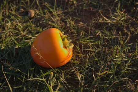 Persimmon fruit spoiled by the blow received when falling to the field floor Фото со стока
